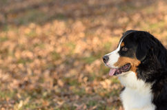 Lookin! a Bernese Mountain Dog puppy side portrait Stock Images