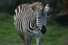 Lookin da zebra à câmera fotografia de stock