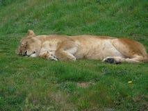 Lookin de la leona tan mimoso foto de archivo libre de regalías