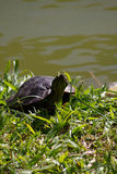 Lookin della tartaruga alla macchina fotografica fotografie stock libere da diritti