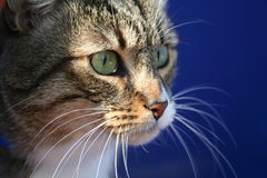 Looking. Of cat Royalty Free Stock Image