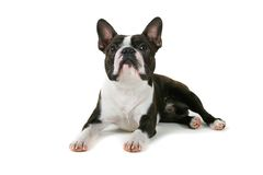 Looking. Boston terrier looking up at something Stock Image