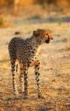 Looking for. A mature cheetah looking towards the horizon Stock Photo
