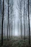Tree plantation in fog Royalty Free Stock Images