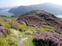 Looking along mountain ridge path surrounded by heather. Peak just beyond ridge is Glenridding Dodd royalty free stock photography