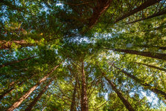 Looking along the sequoia trunk. Low angle view of green reeds in a bamboo forest Stock Photography