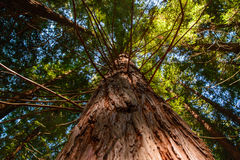 Looking along the sequoia trunk. Low angle view of green reeds in a bamboo forest Royalty Free Stock Photography