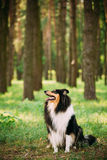 Looking Aside Scottish Rough Long-Haired Collie Lassie Adult Dog. Looking Aside Tricolor Rough Collie, Scottish Collie, Long-Haired Collie, English Collie Stock Photos