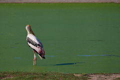 Looking Back. A painted stork are standing alone in a pool Stock Photography