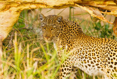 Looking back. Leopard in Kruger National Park, South Africa, resting under a fallen tree Royalty Free Stock Images