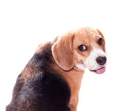 Looking Back Beagle Stock Photos