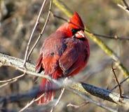 Looking Back cardinal do norte Fotos de Stock Royalty Free