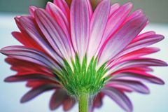 Close up of the underneath the Gerbera Daisy Flower royalty free stock image