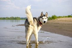Looking back Huskies Royalty Free Stock Photo