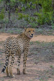 Looking back. Male cheetah looking back after finishing off a impala lamb Stock Photography