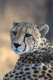 Looking back. A resting cheetah staying alert Royalty Free Stock Image