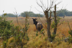 Tsessebe Antelope Looking back Royalty Free Stock Photos