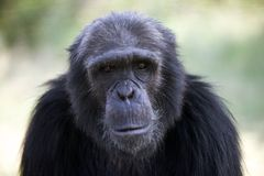 Looking back in wonder. Chimp near Sweetwater's national park - Kenya, perfect pose with man-like stare Stock Photos