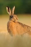 Looking Backside. This hare i can shoot on a beautiful sunday morning with blue sky and very nice temperature. You can see the sunrise and blue sky in his eye Royalty Free Stock Images