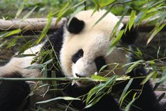 Looking through the bamboo. Giant panda having some bamboo for breakfast Stock Image