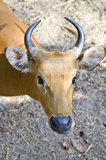 Looking Banteng Royalty Free Stock Photos