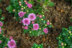 Beautiful pink flowers in Thailand royalty free stock photo