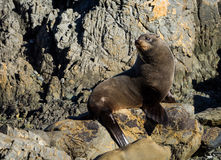 Looking Behind Seal Royalty Free Stock Photo