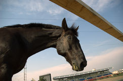 Looking black horse. Black horse in the corral Stock Photos