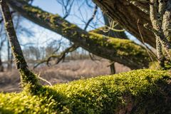 Looking between the branches. Looking through the branches of an old fallen tree. One branch is covered with moss. The photo was taken in a Dutch nature reserve Stock Photo