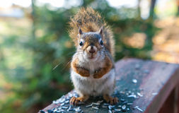 Red squirrel comes up for a breakfast of seeds. Royalty Free Stock Photo