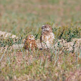 Looking Burrowing Owls Royalty Free Stock Photos