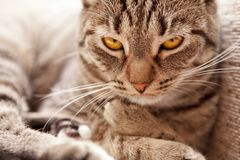 Looking cat (felis catus) Stock Image