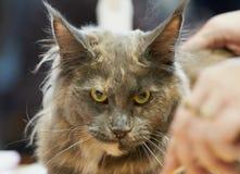 Looking cat portrait. Looking hairy cat looking portrait stock photo