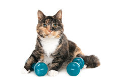 Looking cat with two dumbbells Stock Image