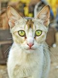 Looking in cats yellow eyes royalty free stock photo