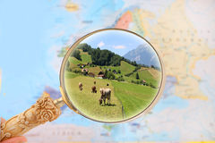 Looking in cattle in Switzerland Royalty Free Stock Image