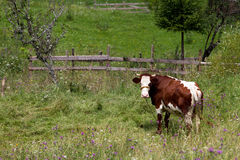 Looking cow Royalty Free Stock Images