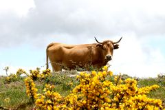 Looking cow in spanish country with yellow flowers Royalty Free Stock Image