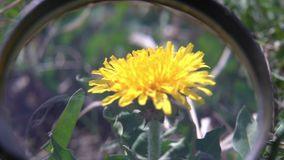 Looking at dandelion flower with magnifying glass biology research. Looking at dandelion flower with magnifying glass stock video footage