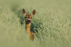 Looking Deer. The head of this deer i can photograph in a cornfield in the early morning of a sunny day Royalty Free Stock Photography