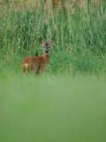 Looking Deer. This deer i can photograph in the grassland in the early morning Royalty Free Stock Photography