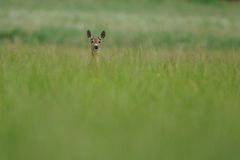 Looking Deer. This deer i can photograph in the grassland in the early morning Stock Image