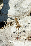 Looking dowm on small lizard on rock in sunshine Stock Images