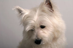 Looking down. Studio portrait of a White West Highland Terrier Stock Image