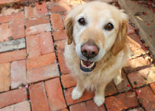 Looking down from above at a happy golden retriever dog royalty free stock photos