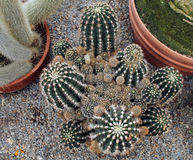 Looking Down at a Collection of Barrel Cactus Stock Image