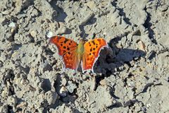 Comma butterfly on the ground stock images