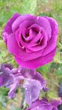 Looking down into head of perfumed purple pink rose head. Looking down into head of perfumed purple pink rose showing tiny droplets of rain on petals with royalty free stock images