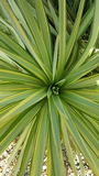 Looking down inside a yucca plant stock image