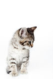 Looking down kitten Royalty Free Stock Images